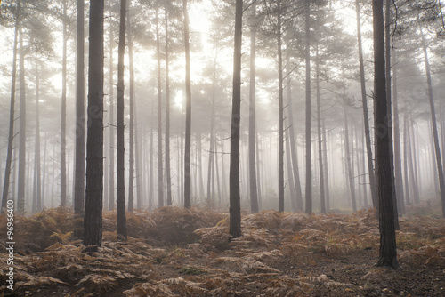 Staande foto Bleke violet Pine forest Autumn Fall landscape foggy morning