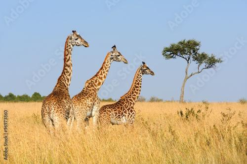 Photo  Giraffe in National park of Kenya