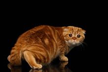 Frightened Ginger Scottish Fold Cat Looking Back Isolated On Black