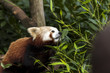 Beautiful wild Red Panda foraging through the undergrowth in the forest