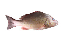 Fresh Red Snapper Fish Or Lutjanus Campechanusfish Isolated On A