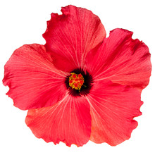 Red Pink Tropical Hibiscus Flo...