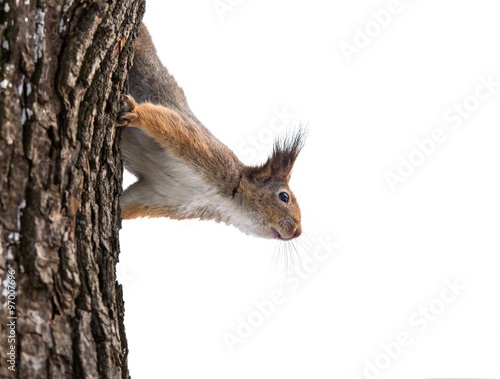 curious squirrel in winter on tree Wall mural