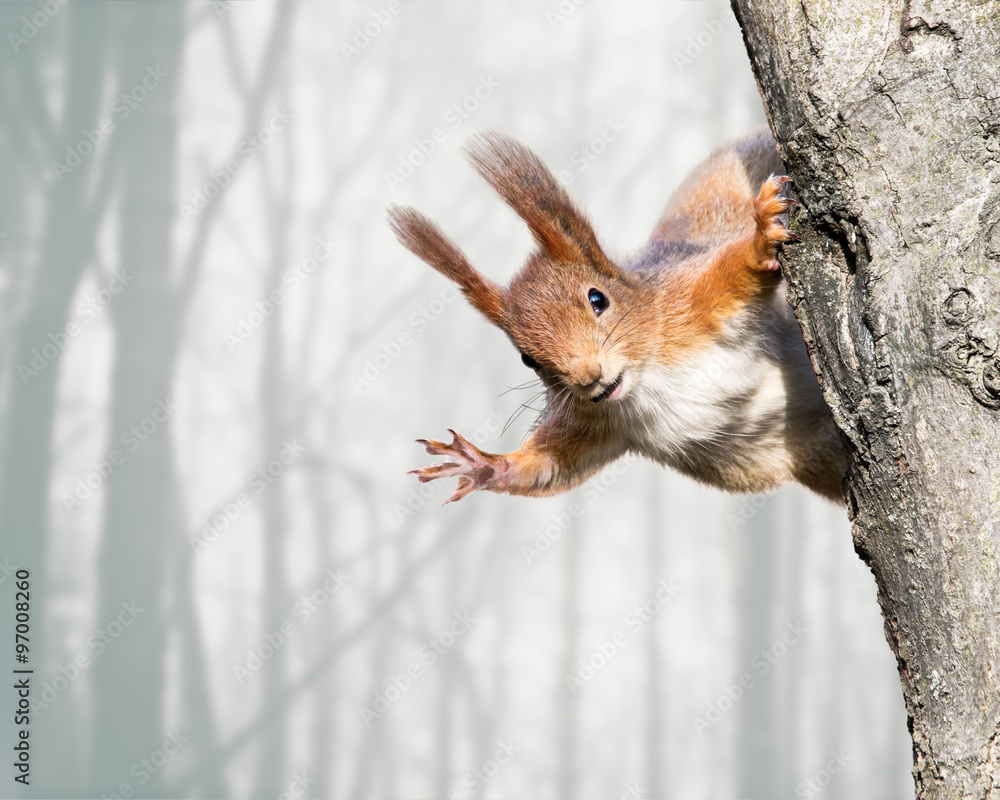 Fototapeta curious red squirrel siting on tree