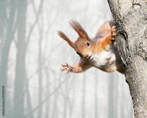 Fototapeta curious red squirrel siting on tree obraz