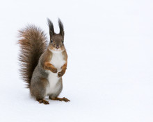 Red Squirrel Posed On Snow Bac...
