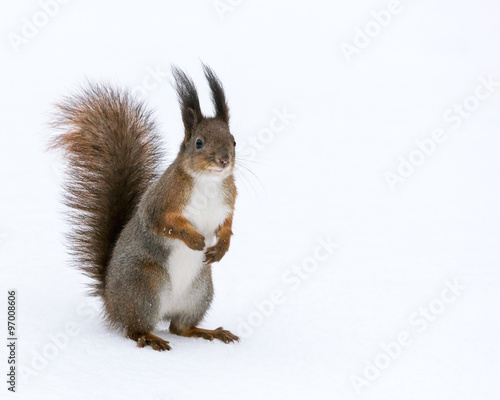 Foto op Canvas Eekhoorn fluffy squirrel on the snow background