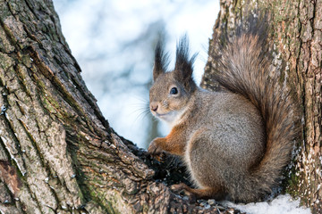 Naklejka na ściany i meble eurasian red squirrel in grey winter coat
