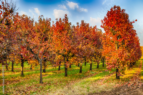 Aluminium Prints Autumn persimmon trees in regular files