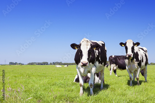 Staande foto Koe Cows in a fresh grassy field on a clear day