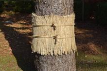 松のこも巻き/山形県庄内平野の公園で、松の木に「こも巻き」を施術した風景を撮影した写真です。こも巻きは害虫駆除法で、マツカレハの幼虫(マツケムシ)を除去する方法のひとつです。春先に、この「こも」の中で越冬したマツカレハの幼虫を「こも」と一緒に焼却し、マツカレハの駆除をするのが目的です。11月頃に施術される為、冬支度のように解釈されることもありますが、決して防寒が目的ではありません。