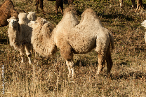 Camel in the Steppe of Kazakhstan, Central Asia