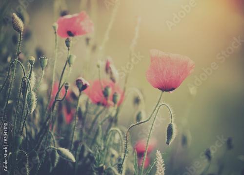 Fototapety, obrazy: Poppy flower