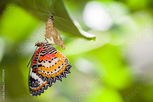 Poster Vlinder Leopard lacewing butterfly come out from pupa