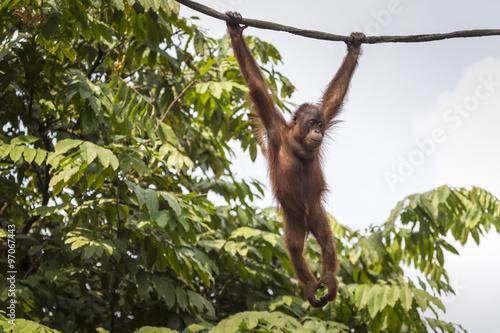 Foto op Aluminium Aap Orangutan in the jungle of Borneo Indonesia.