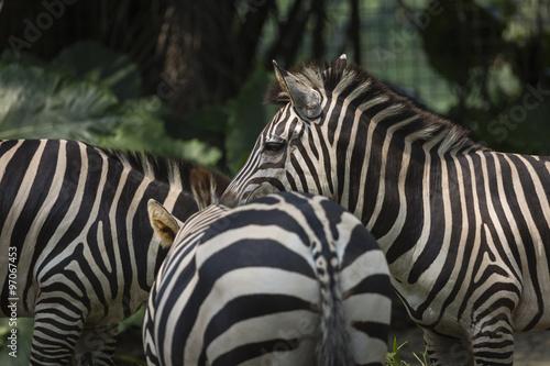 Aluminium Prints Zebra Closeup portrait of a scarred Burchell's Zebra (Equus Quagga Bur
