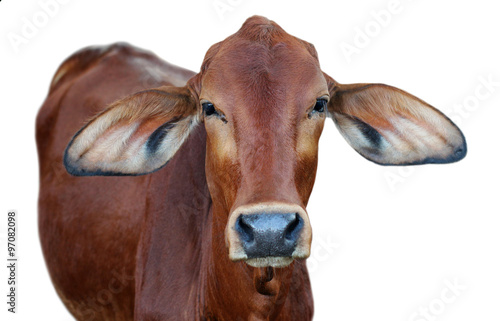 Photo  Image of red cow isolated on white background.