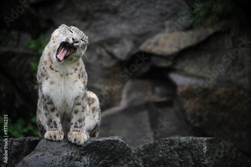 Fotografie, Obraz  Leopard des neiges