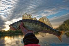 Walleye In Fisherman's Hand, H...