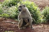 monkeys in tsavo east national park kenya