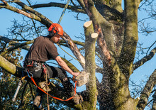 Tree Surgeon Hanging From Ropes In The Crown Of A Tree Using A Chainsaw.  Motion Blur Of Wood Chips.  Full Safety Equipment And Ropes.
