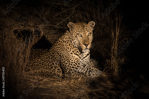 Poster Leopard Leopard resting in the shade in the bush a night