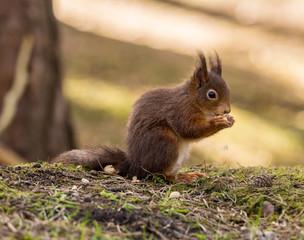 Naklejka na ściany i meble Red Squirrels at Formby Point, Formby, Southport, Merseyside, UK