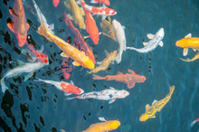Schooling Of Colored Koi Carp In Water