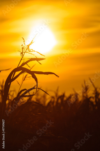 Foto op Plexiglas Bruin Corn field at the yellow sunset
