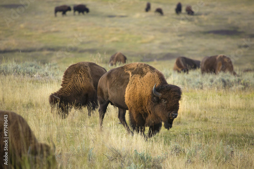 Foto op Canvas Bison Bison browse in early morning sunlight in grasslands of Yellowstone National Park, Wyoming.