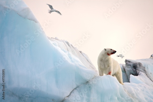 Deurstickers Ijsbeer Polar bear and ivory gull in natural environment