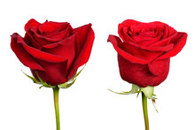 Two Flowers Of Red Rose Close-up Isolated On White Background