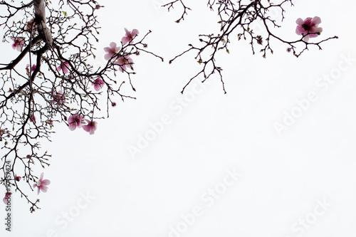 Magnolia Japanese Magnolia Blossoms on White Background