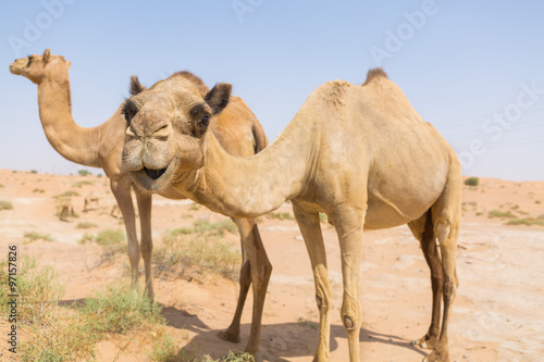 Photo  wild camels in the hot dry middle eastern desert uae with blue sky