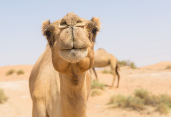 Fototapeta wild camel in the hot dry middle eastern desert uae