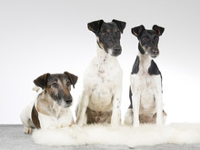 A Group Of Smooth Fox Terriers In A Portrait. Image Taken In A Studio.