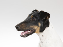 Smooth Fox Terrier Portrait. Image Taken In A Studio.