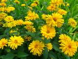 Fototapeta Kwiaty - Słoneczniczek Szorstki (Heliopsis helianthoides)