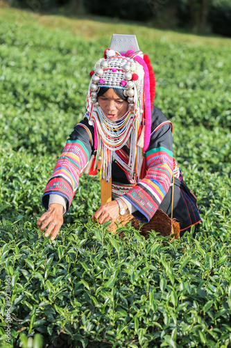 fototapeta na drzwi i meble Akha hill tribe woman picking tea leaf at plantation.