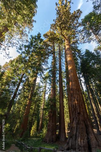 Keuken foto achterwand Verenigde Staten Tall sequoia from below in Yosemite, California