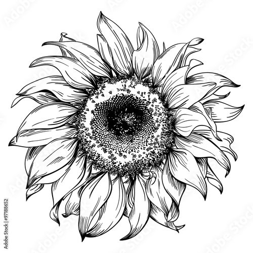 Fotografie, Obraz  Hand drawn sunflower head isolated on white background