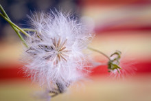 White Fluffy Dandelion