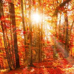 Fototapeta Las Red trees in the autumn forest