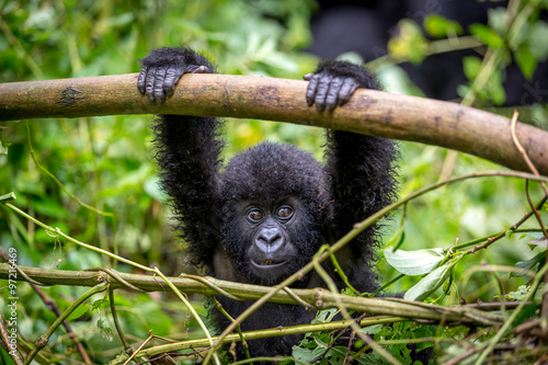 Photo  Gorila trek inside Virunga National Park in Democratic Republic of Congo