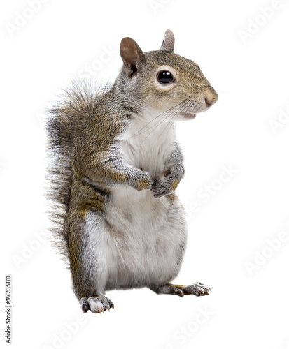 Spoed Foto op Canvas Eekhoorn The American gray squirrel paw anxiously pressed to his chest