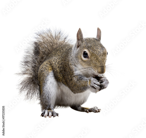 In de dag Eekhoorn Young squirrel with shells of sunflower seeds on a white backgro