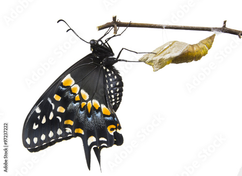 Leinwand Poster The Butterfly   Eastern Black Swallowtail (Papilio polyxenes) em