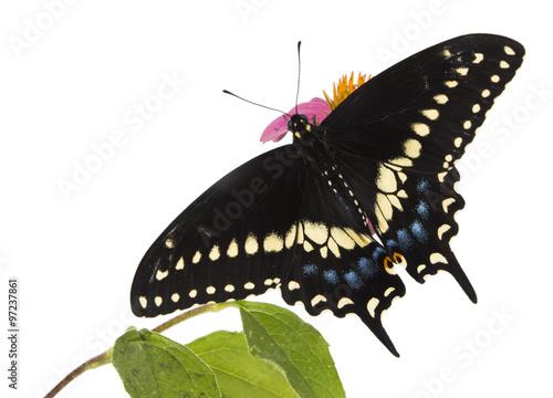 Photo Butterflies Eastern Black Swallowtail (Papilio polyxenes)
