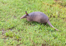 Nine-banded Armadillo Sniffing