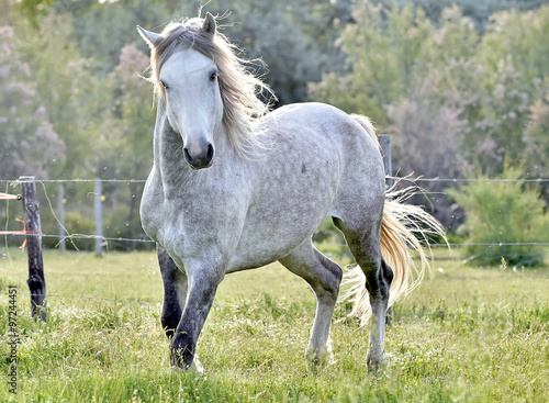 Fotografie, Obraz  white horse portrait on natural background. Close up